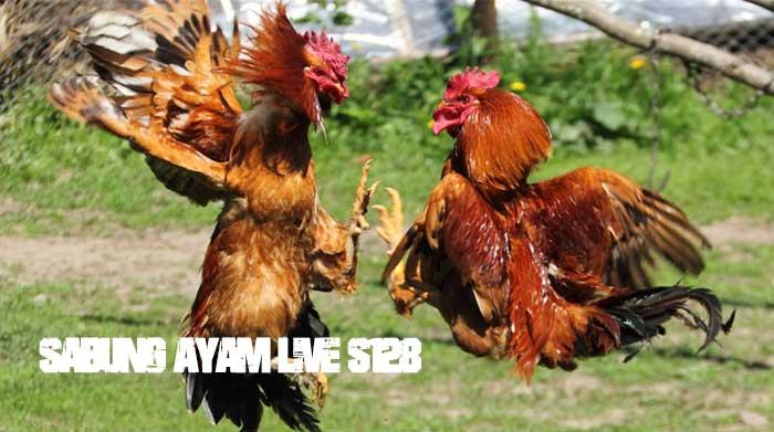 Penjelasan Sabung Ayam Live S128