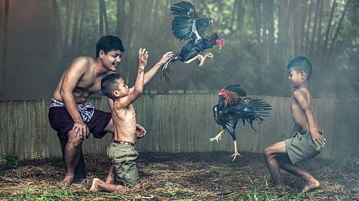 illustasi anak anak melakukan kegiatan sabung ayam